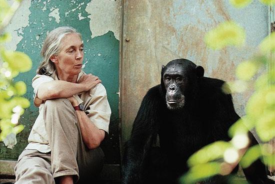 جین گودال؛ زنی که در کنار شامپانزه ها زندگی کرد