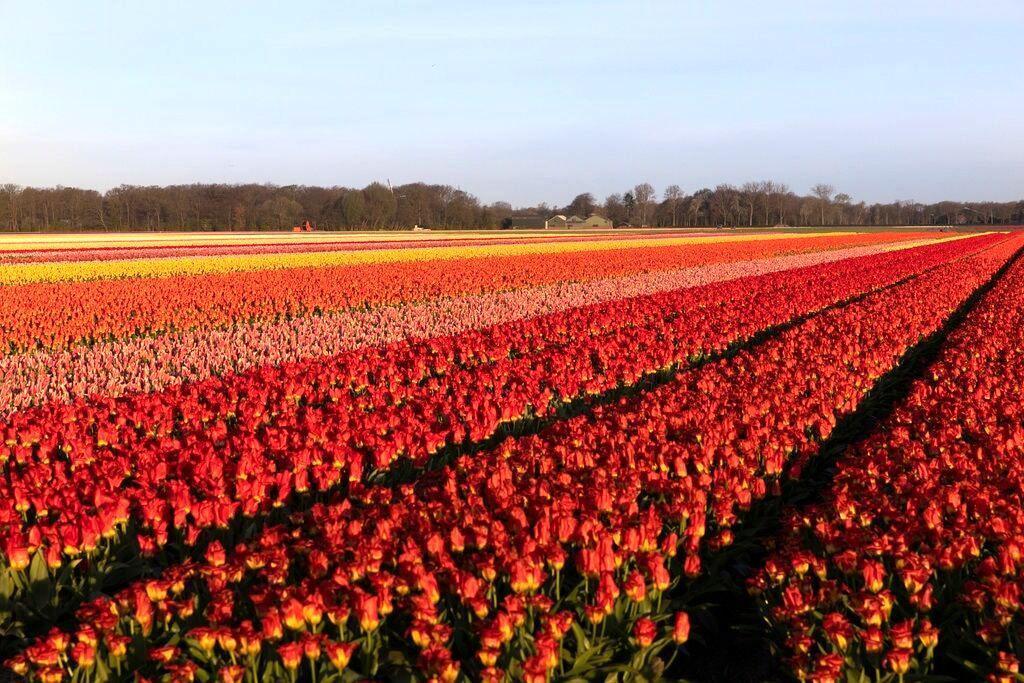 امحای 400میلیون شاخه گل در فصل لاله های هلندی