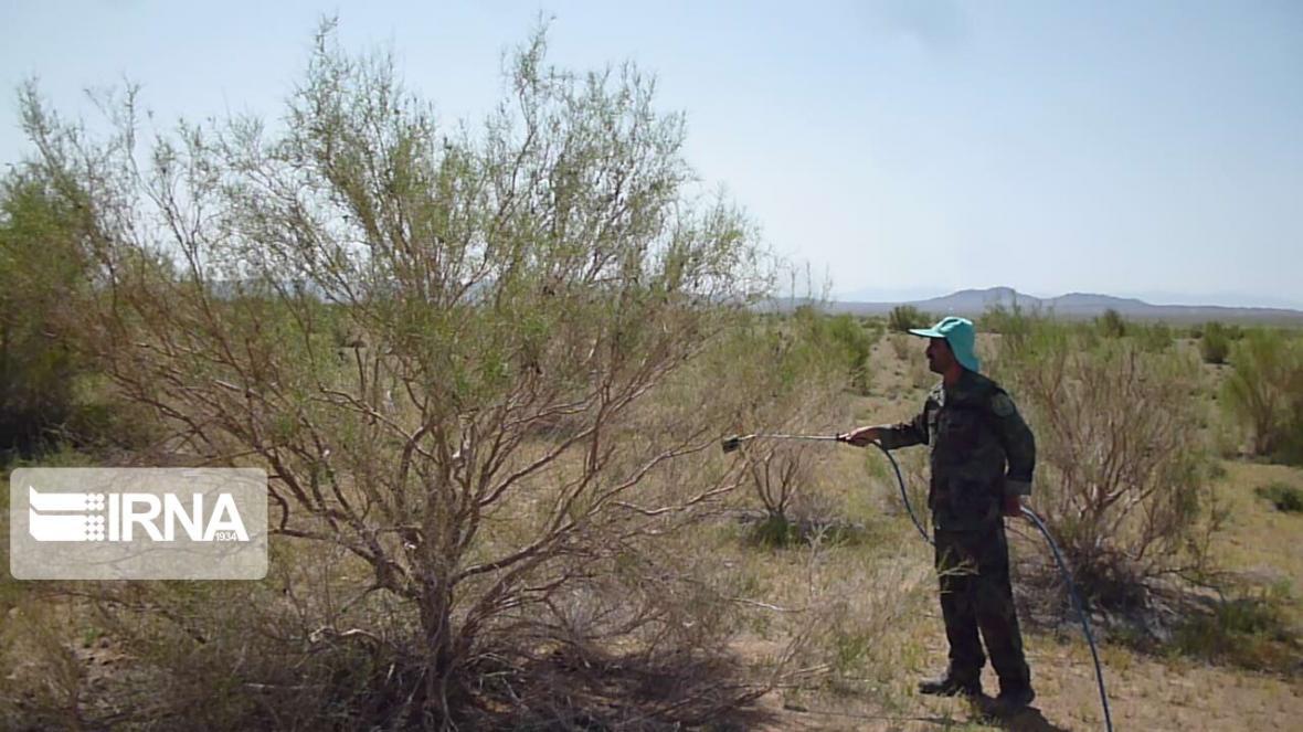 خبرنگاران مبارزه با ملخ کوهان دار تاغ در دامغان آغاز شد