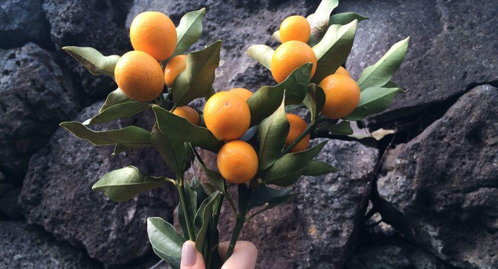 نارنگی تزیینی؛ رشدسرطان را کند می کند