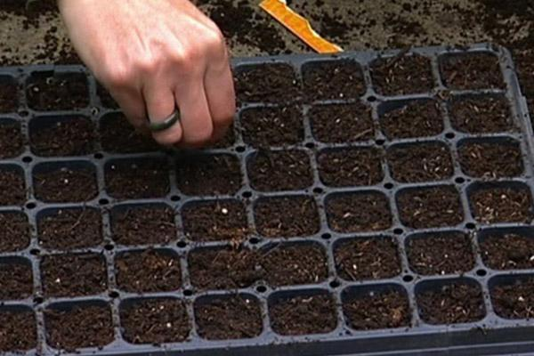 اصول کاشت گوجه فرنگی در منزل