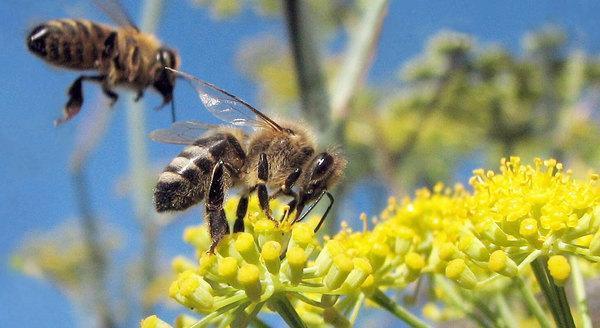 خواص عسل رازیانه یا عسل مخصوص بانوان چیست؟